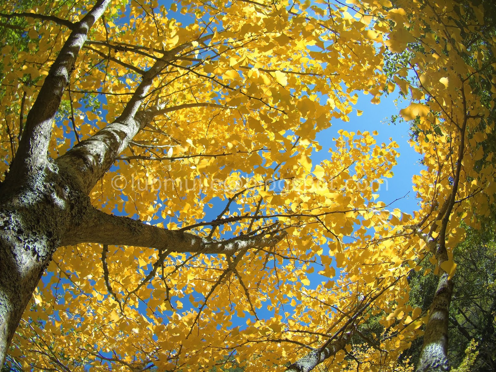 Wuling Farm maple/autumn foliage
