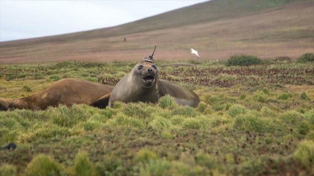 NASA recluta una foca elefante para investigar cambio climático