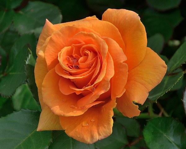 Vavoom роза фото