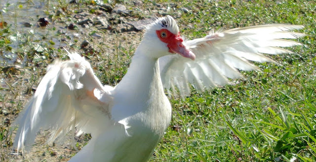 Ms. Eyebrow, a very special muscovy duck