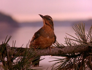 Twin Peaks, TV series, Robin on a tree branch
