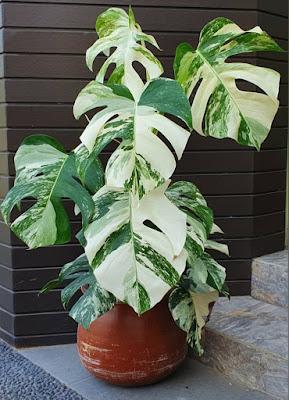 Jual pohon mounstera varyghata - Alby flora