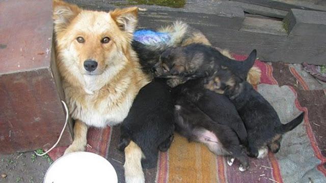 В Якутском селе дворняжка смогла привлечь внимание сельчан, чтобы спасти своего щенка из западни.