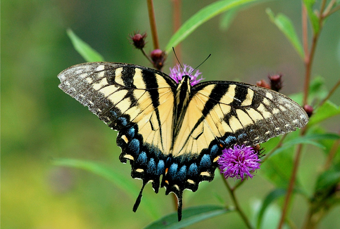 Butterfly | Wild Life Animal