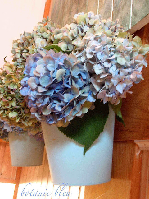 Blue and green hydrangeas in pale blue metal pots retain color as they air dry