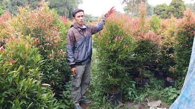 Jual pohon pucuk merah di bekasi - tukang rumput bogor