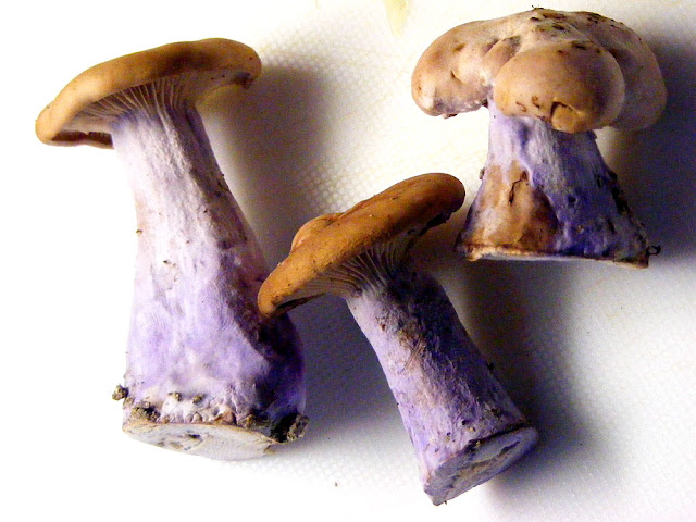 Cave grown Wood Blewit Lepista nuda.  Indre et Loire, France. Photographed by Susan Walter. Tour the Loire Valley with a classic car and a private guide.