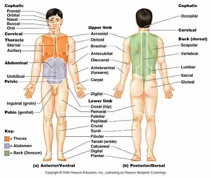 Human Full Body Part Name With Images Chart List Chip Level