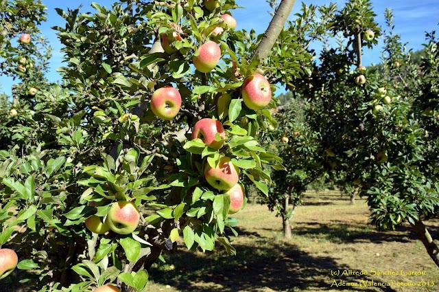 rincon-ademuz-manzanas-esperiegas
