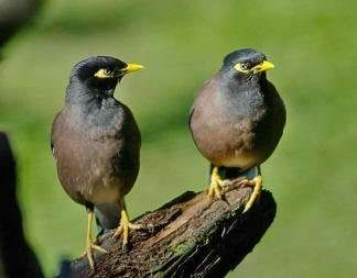 Interesting Facts about Mockingbirds, Mynas and Parrots 1