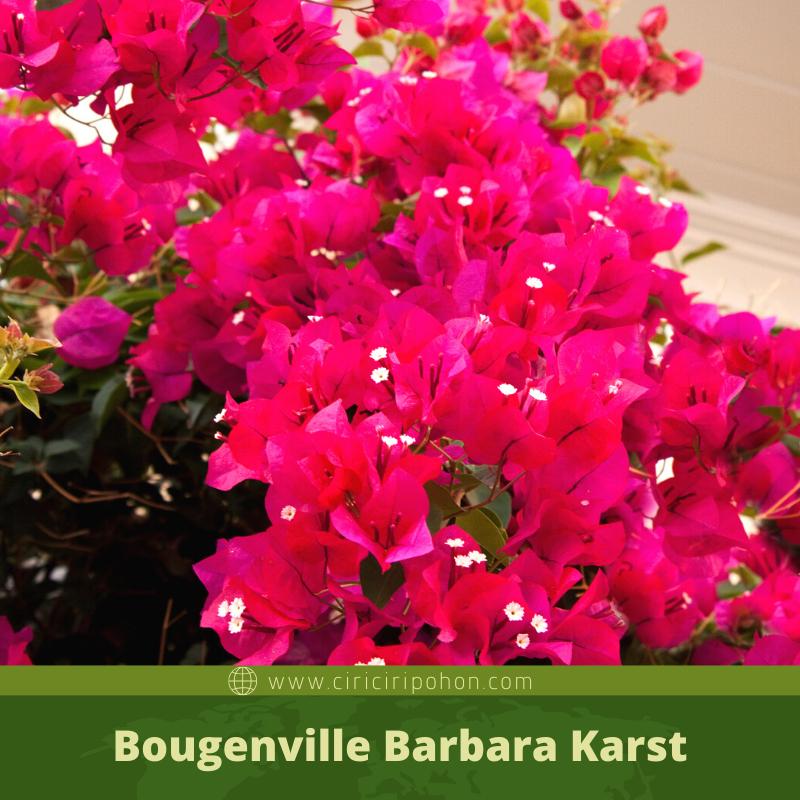 Bougenville Barbara Karst