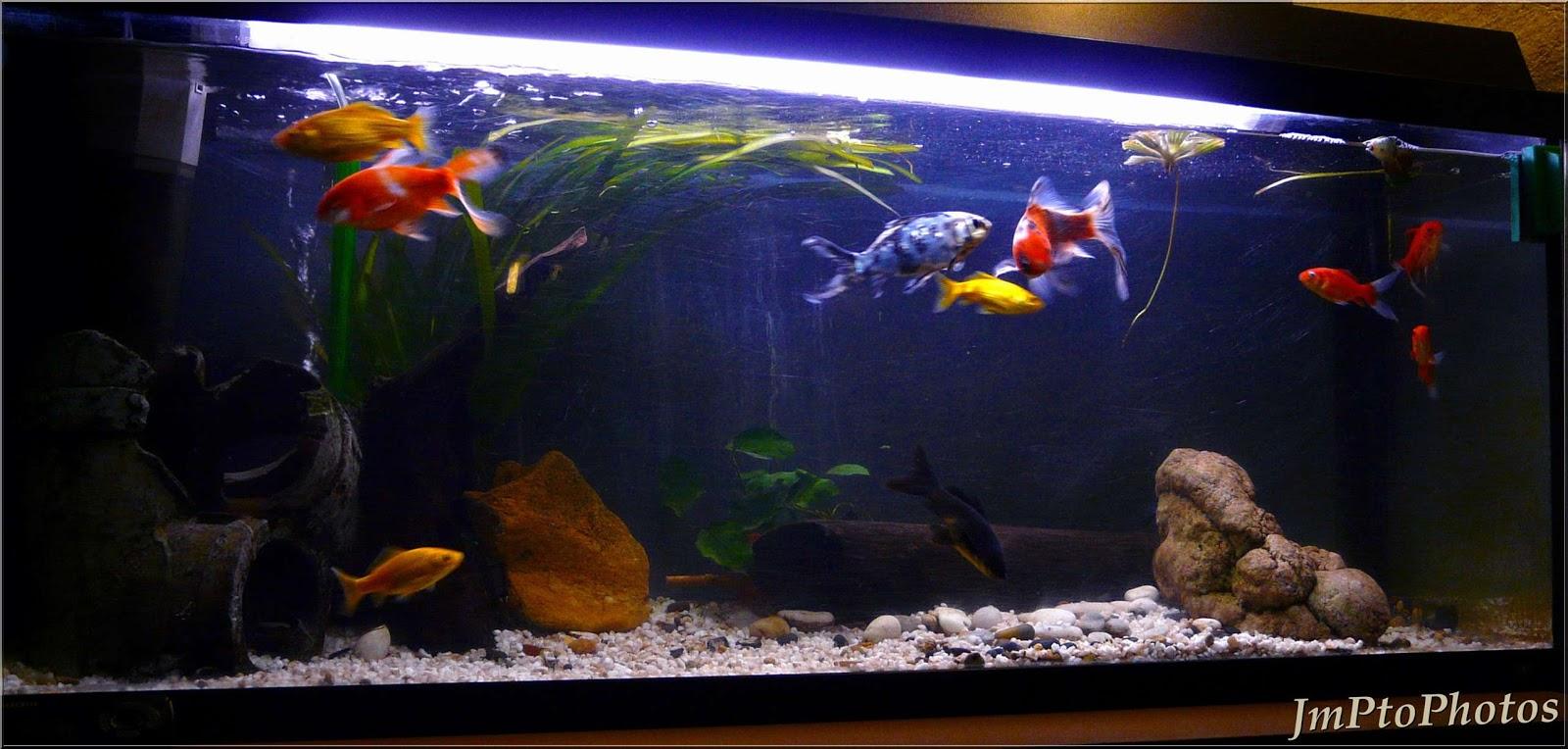jmptophotos l 39 aquarium en eau froide. Black Bedroom Furniture Sets. Home Design Ideas