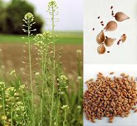 Ketencik bitkisi ve tohumları