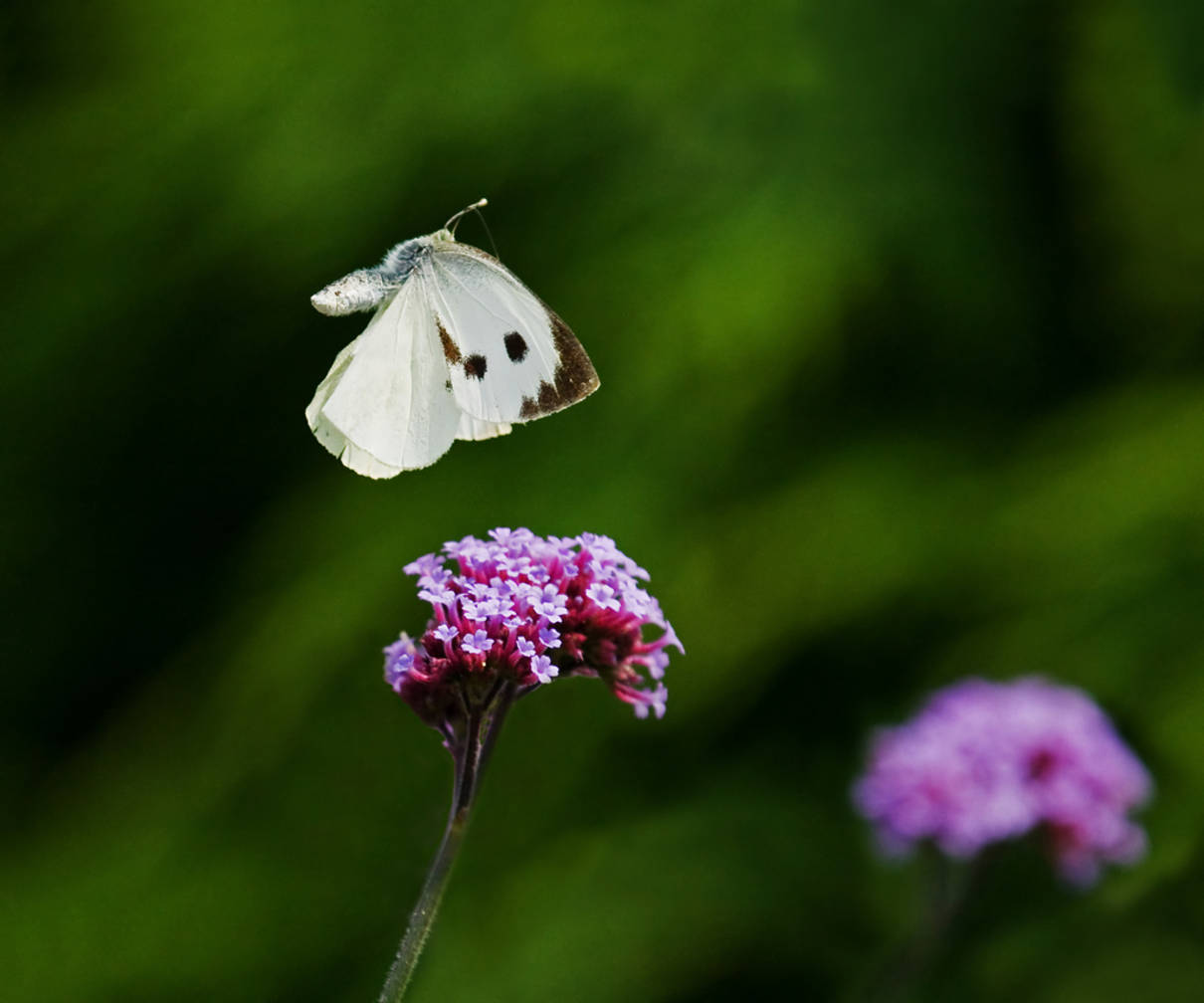 images of butterflies flying - photo #41