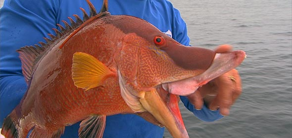 Hog Snapper in Tampa Bay