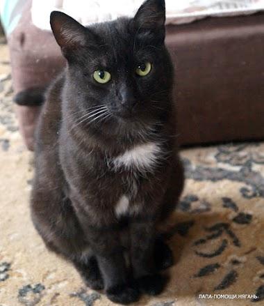 Багира - Черная прелестница с белым воротничком на грудке