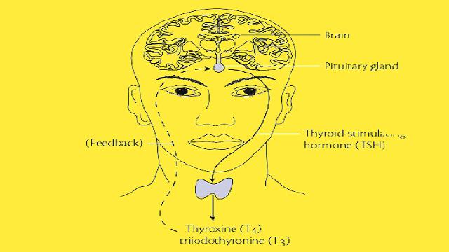 Thyroid Stimulating Harmone