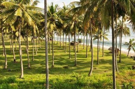 manfaat pohon kelapa bagi kehidupan sehari-hari