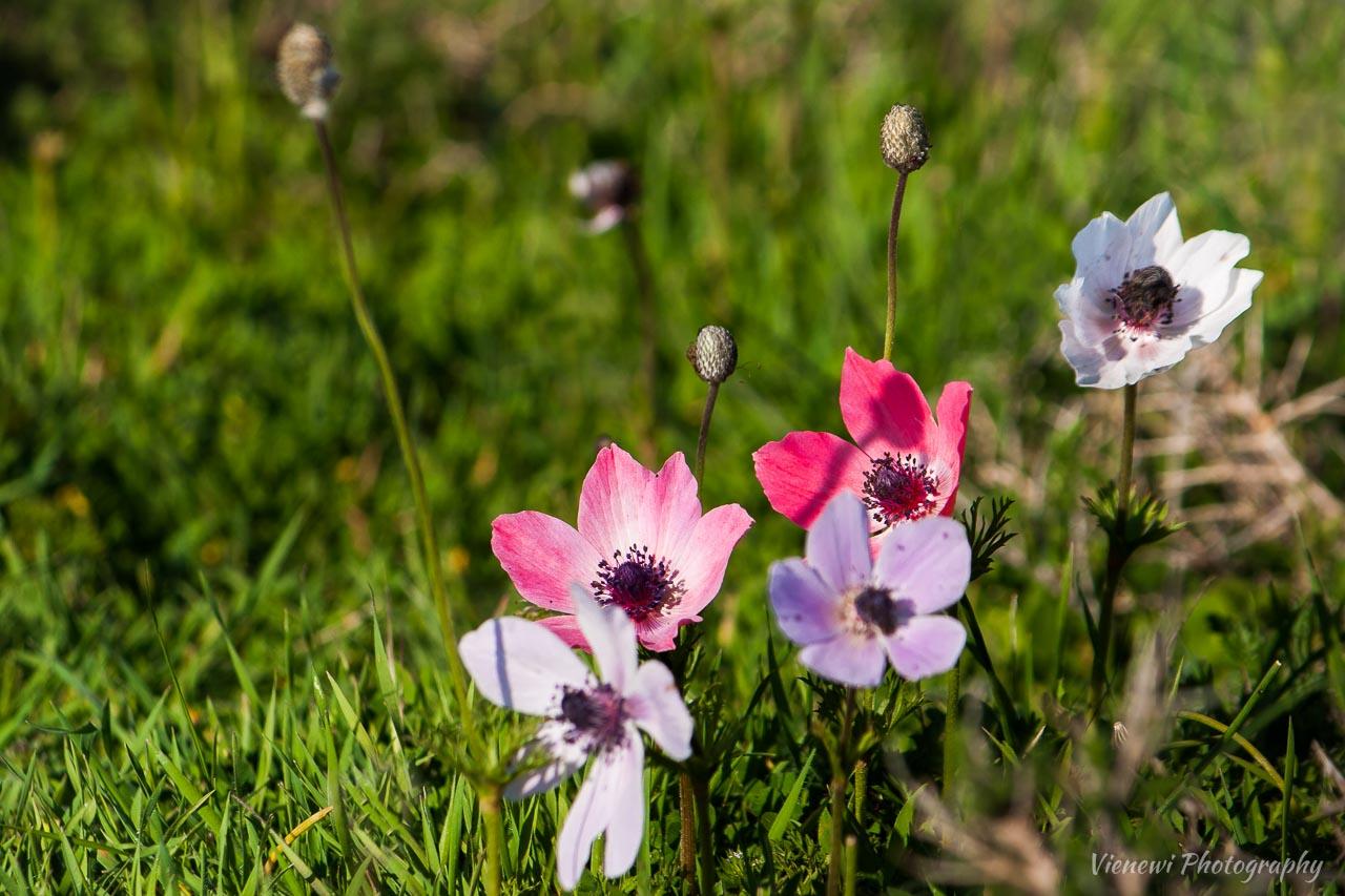 Wiosenne kwiaty kwitnące w marcu na Cyprze - anemone coronaria w białym, różowym i fioletowym kolorze.