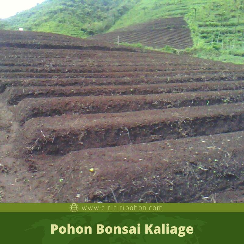 ciri ciri pohon Pohon Bonsai Kaliage