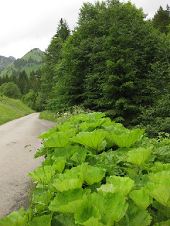 Plant with gigantic leaves along the banks of Le Ruisseau des Fenils, Switzerland