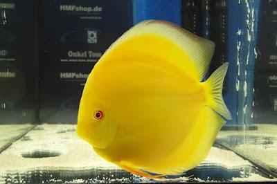 Harga Ikan Discus Yellow