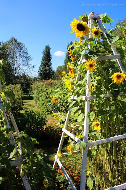 #RaisedBeds #GardenLife #Sunflowers #FarmLifestyle #Farm #Plants #Flowers #Plants #GrowYourOwnFood ##Garden #OrganicGardening #GreenThumb #SimpleLiving #Gardening #Gardener #SouthernGarden #Arbors #HobbyFarm #SimpleLife