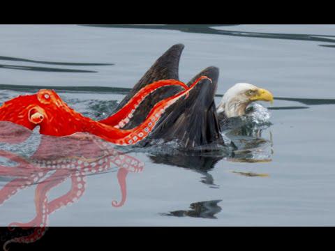 Đại bàng suýt làm mồi ngon cho bạch tuột đỏ khổng lồ