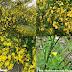 Đậu chổi - Genêt à balai - Scotch broom