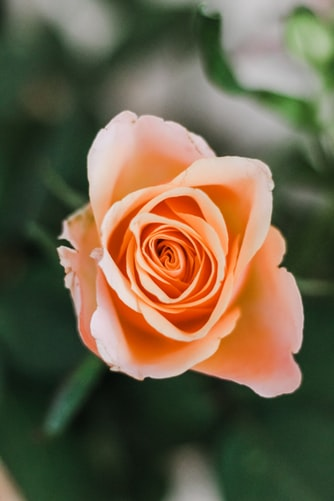 Find Out 6 Types of Roses with Its Meaning || Rose Day images ||  || 7 feb 2020 ||