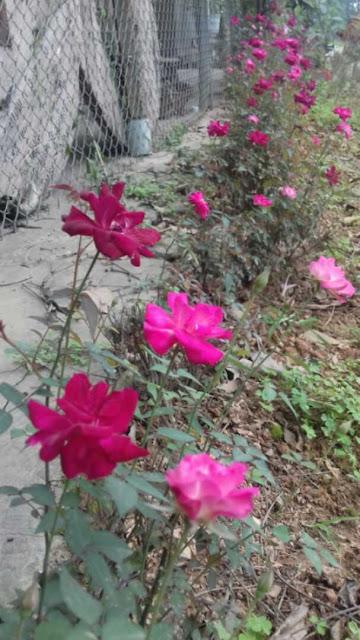trồng cây hoa hồng quế