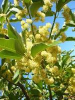 bunga tanaman adem ati