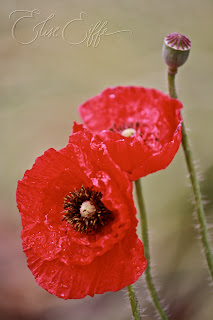 Poppies Red - Rememberance