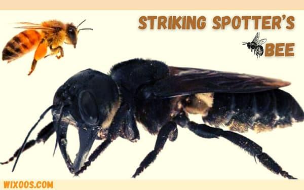 Striking Spotter bee