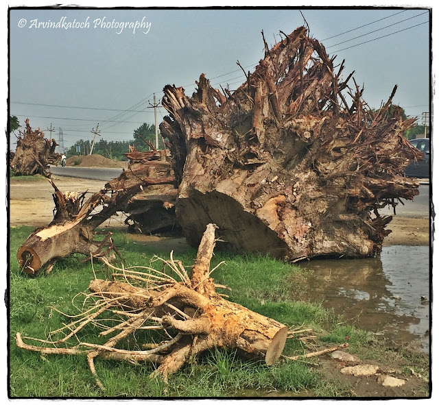Graveyard, Tree Stumps, Remains, Trees, uprooted, widening, Bist Doab Canal,