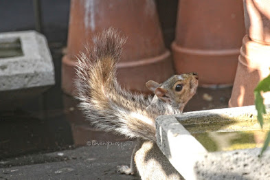 "This is a photograph of a squirrel on the ""floor"" of my rooftop garden. He/she is ""hiding"" behind a birdbath on the garden ""floor ""while looking up. My garden is the setting for my three volume book series, ""Words In Our Beak.""  (Info re the books is within a post on my blog @ https://www.thelastleafgardener.com/2018/10/one-sheet-book-series-info.html). Squirrels are not featured in  these books, but I have published info re them within other entries on this blog (@ https://www.thelastleafgardener.com/search?q=Squirrels)."