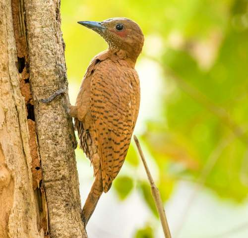 Indian birds - Photo of Rufous woodpecker - Micropternus brachyurus