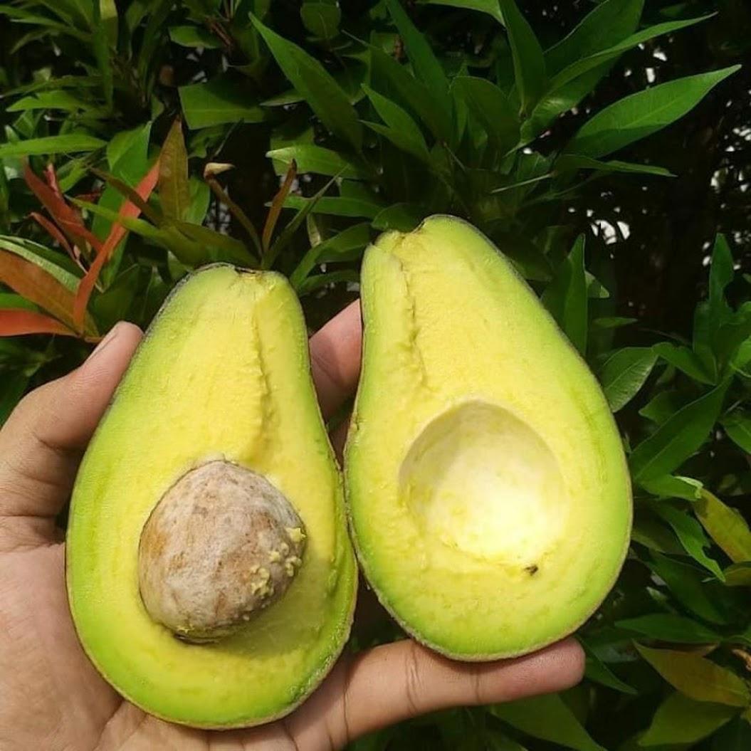 bibit apukat mentega Sumatra Selatan