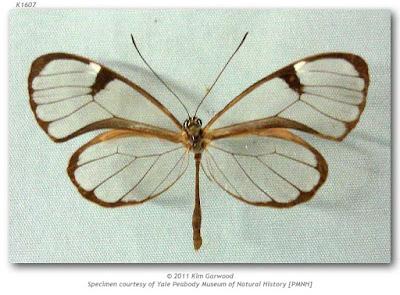 Mariposa cristalina azulada (Pseudoscada erruca)