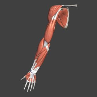 how to build muscle with science upper limb