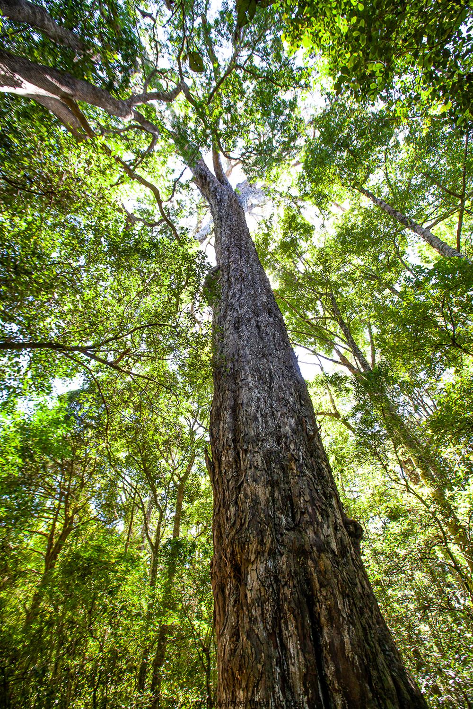 Knysna Forests, Diepwalle, Ebb and Flow , Goukamma, Natures Valley , Big Tree, Champion Tree, Forest Birds, Birding , Birding in the Garden Route, Garden Route