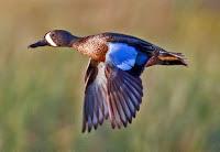 Blue-winged teal male in flight, Bazoria  National Wildlife Refuge, TX - Dan Pancamo