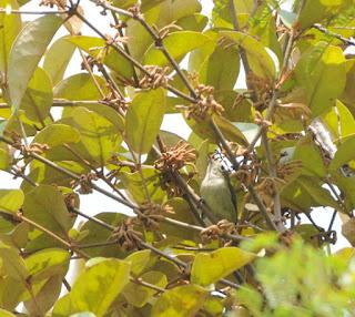 Plain Flowerpecker (Dicaeum concolor)