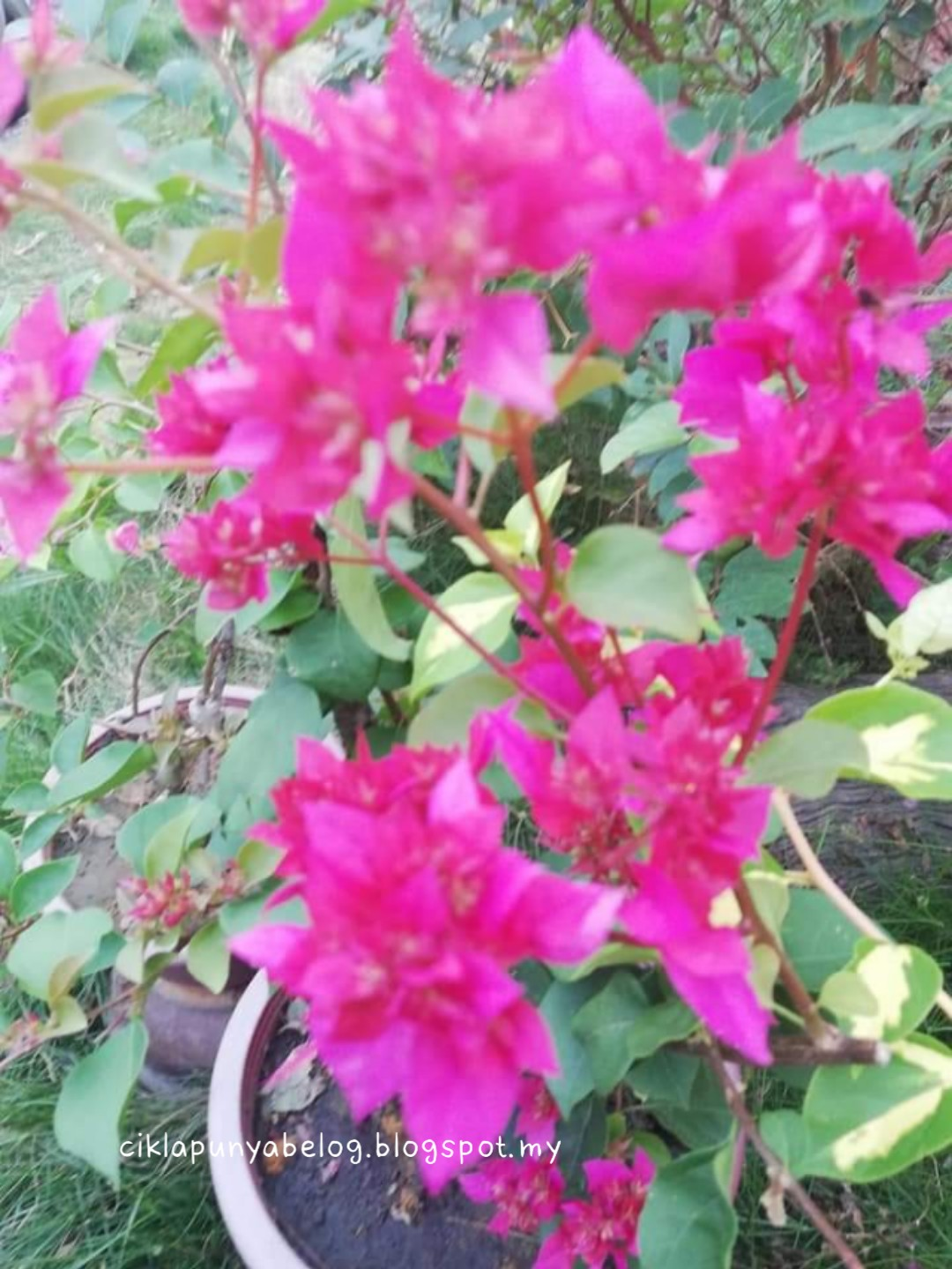 [Entri bergambar] : Tengok bunga cantik, terapi mata.