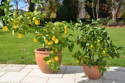 Cara Mudah Membudidayakan Tanaman Buah Dalam Pot di Rumah