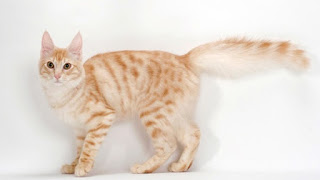 gambar seekor kucing Anggora Turkish berwarna kuning putih oren