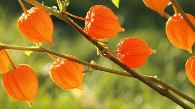 health benefits of ashavgandha by nature mantra