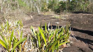 Encyclia cachimboensis
