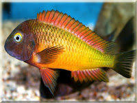 Tropheus Moorii Fish Pictures