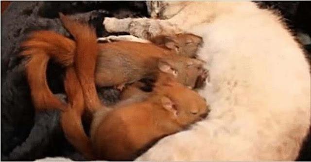 Прогуливаясь кошка нашла брошенных бельчат и стала для них заботливой мамой…